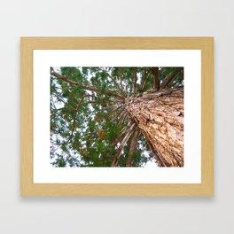 Mammoth pine tree from below Framed Art Print
