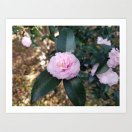 Pink Camelia Blosom Art Print