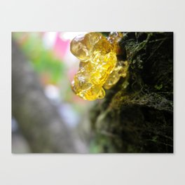 sap from a tree Canvas Print