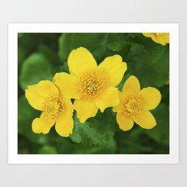 Marsh Marigold Caltha Palustris Art Print