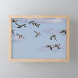 Mallards, Northern Pintails and a Green-winged Teal in Flight Framed Mini Art Print