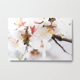 Blossom of the almond tree Metal Print