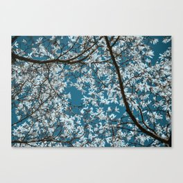 Beautiful white flowers all over the trees with clear blue sky in the background Canvas Print