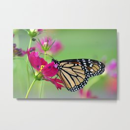 Monarch Butterfly Pollinating Deep Pink Cosmos Flower Metal Print