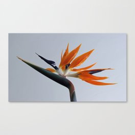 The bird of paradise flower Canvas Print