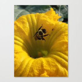Pollen collecting in a pumpkin blossom Canvas Print