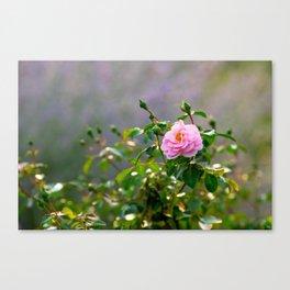 Pink rose flower. Misty morning Canvas Print