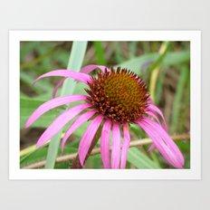cone flower Art Print