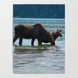 Mother moose and calf in Jasper National Park Poster