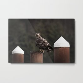 An Immature Bald Eagle Gets Hit by Wind at the Nehalem Bay State Park Boat Launch in Oregon Metal Print