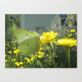 Brimstone butterfly and yellow flower 2 Canvas Print