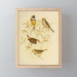 Vintage Print - The Birds of Australia (1891) - Finches Framed Mini Art Print