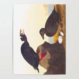 Black or Surf Duck John Audubon Vintage Scientific Bird Illustration Poster