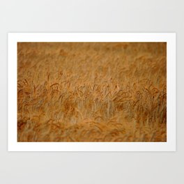 Amber waves of grain. Art Print