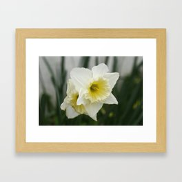 White and yellow daffodils, early spring flowers Framed Art Print