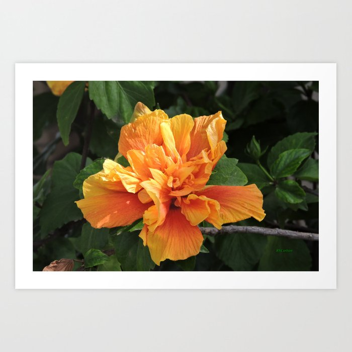 The Golden Double Hibiscus Next Door Art Print