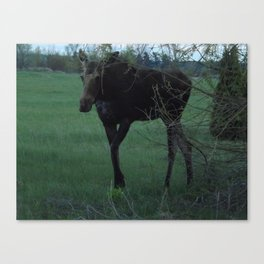 Evening Missy walking Canvas Print