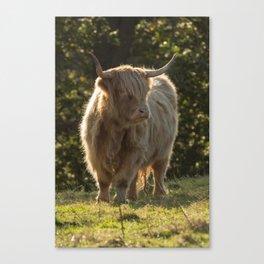 Scottish cow Canvas Print