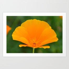 California Poppy close up by Teresa Thompson Art Print
