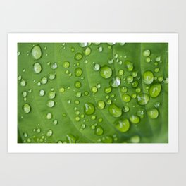 Rain Drops on Hosta Art Print