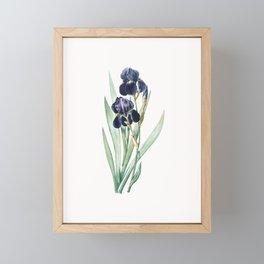 German Iris Flower Illustration Framed Mini Art Print