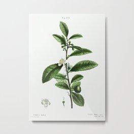 Thea bohea (The bou) from Traité des Arbres et Arbustes que l'on cultive en France en pleine terre ( Metal Print