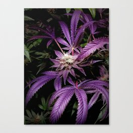 Purrple Canvas Print