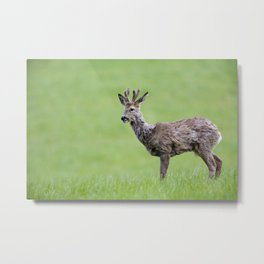 ROE DEER BUCK Metal Print