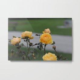 Yellow Rose Bush Metal Print