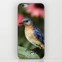 Perched Eastern  BlueBird iPhone Skin