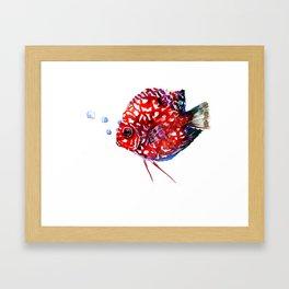 Scarlet Red Discus Framed Art Print