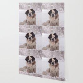 St Bernard dog on the snow Wallpaper
