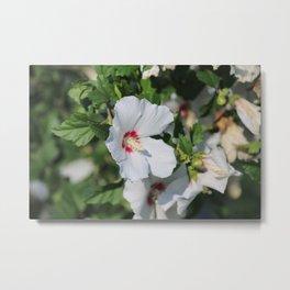 White Rose Of Sharon Metal Print