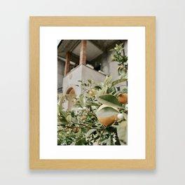 oranges at the villa Framed Art Print