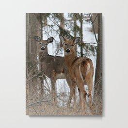 White-Tailed Deer in Winter Metal Print