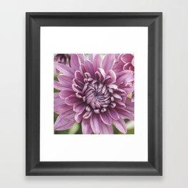 Soft Pink Mum, Nature Photography, Flower, Floral Print, Flower Print, Nature Print, Macro Art Framed Art Print