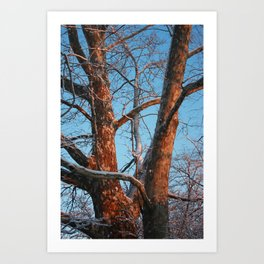 Sycamore Sunset Art Print