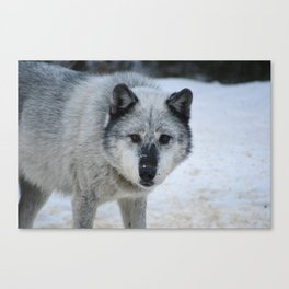 Lone wolf roams the Canadian Rockies Canvas Print