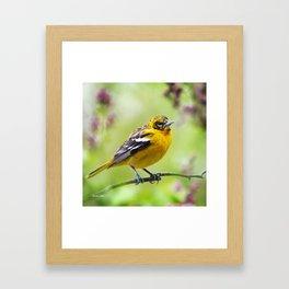 Spring Oriole Framed Art Print