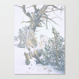 Ancient Tree, Twisted in the Wind/Windy Ridge, Colorado Canvas Print