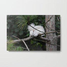 Sleeping Lily the beautiful White Albino Squirrel Metal Print