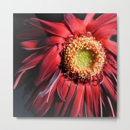 Wilting Red Daisy Metal Print