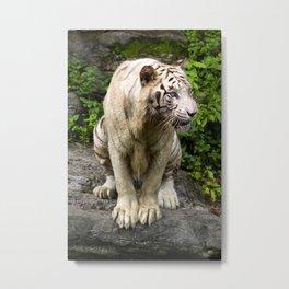 Unhappy White Tiger Metal Print