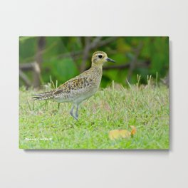 Pacific Golden Plover Metal Print