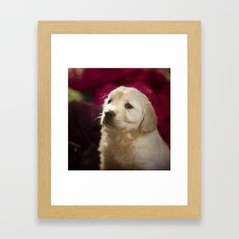 Cute labrador puppy Framed Art Print
