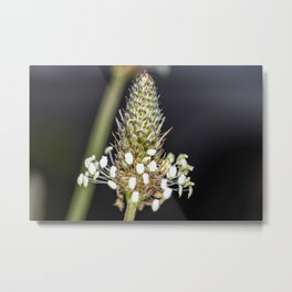 Buckhorn flower top close up Metal Print