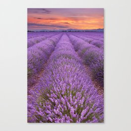 II - Sunrise over blooming fields of lavender in the Provence, France Canvas Print