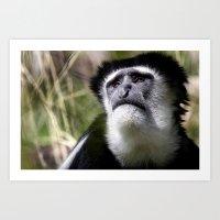 Colobus Monkey Art Print