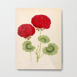 Double Zonal Pelargonium Vesta Vintage Flower Metal Print