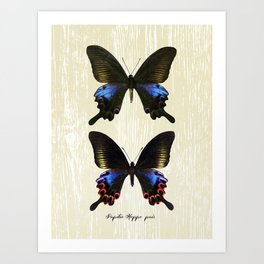 Butterfly11_Papilio Hoppo pair Art Print